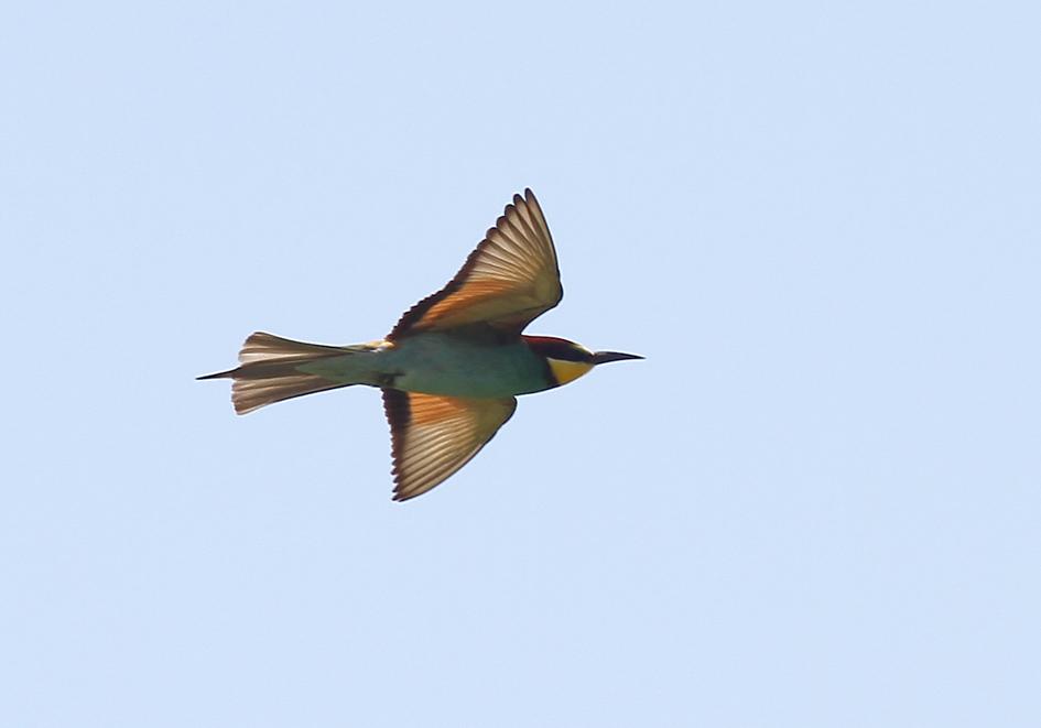 Merops apiaster - Bienenfresser - Andros - Aves - Vögel - birds