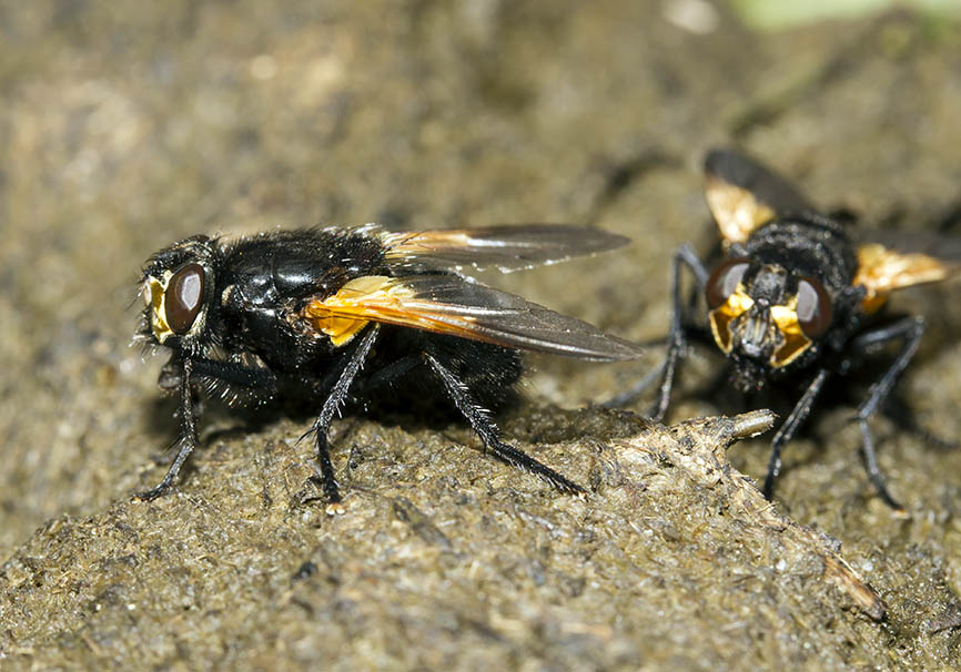 Mesembrina meridiana - Rinderfliege - Fam. Muscidae - Echte Fliegen - Brachycera (Fliegenartige) - Schizophora - muscoids
