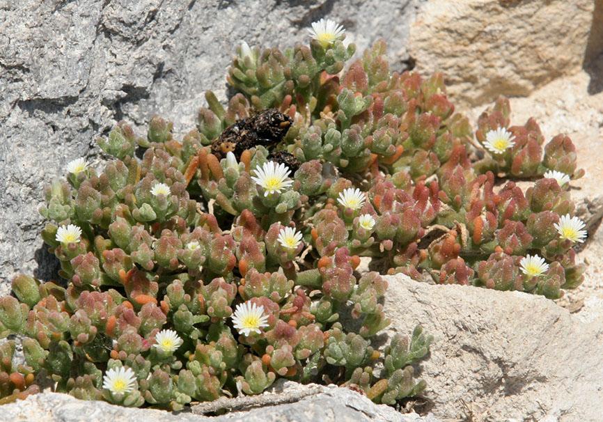 Mesembryanthemum nodiflorum - Knotenblütige Mittagsblume -  - Saline Lebensräume - saline environments