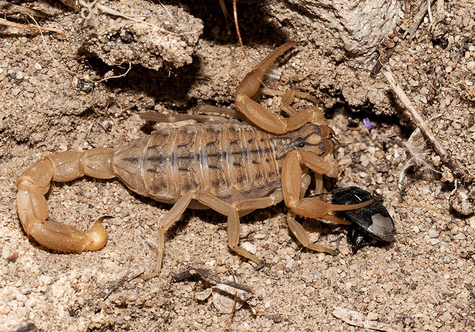 Mesobuthus gibbosus - Kos - Scorpiones - Skorpione - scorpions