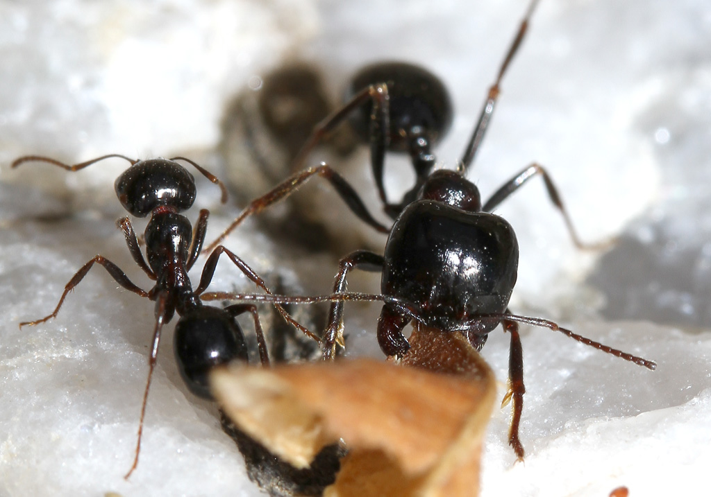 Messor sp. - Ernteameise - Andros - Formicidae - Ameisen - Ants