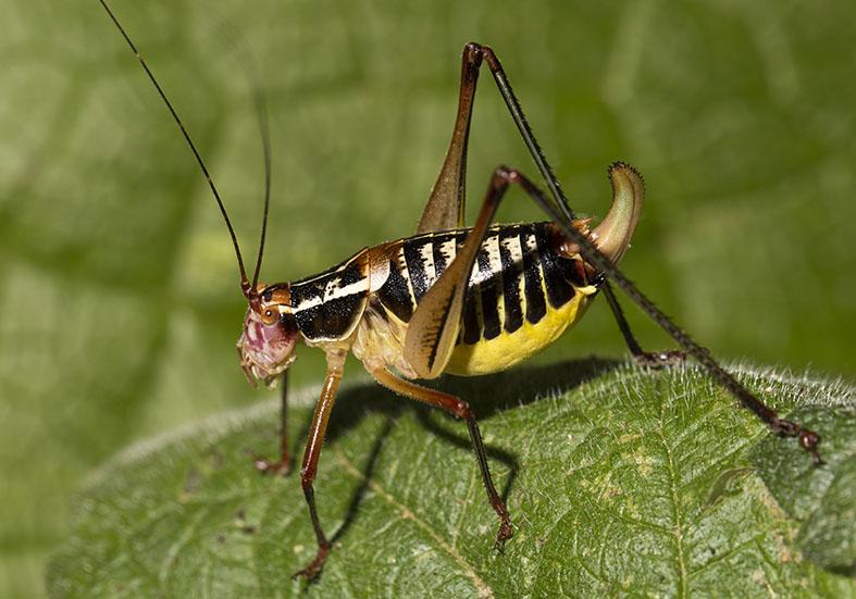 Metaplastes ornatus - Zarori (Griechenland) - Ensifera - Phaneropteridae - Sichelschrecken -