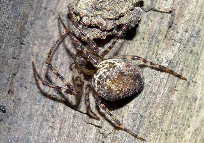 Metellina merianae - Herbstspinne - Fam.  Tetragnathidae - Dickkieferspinnen - Araneae - Webspinnen - orb-weaver spiders