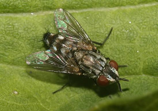 Metopia sp. - Trabantenfliege - Fam. Sarcophagidae - Fleischfliegen - Brachycera (Fliegenartige) - Schizophora - muscoids