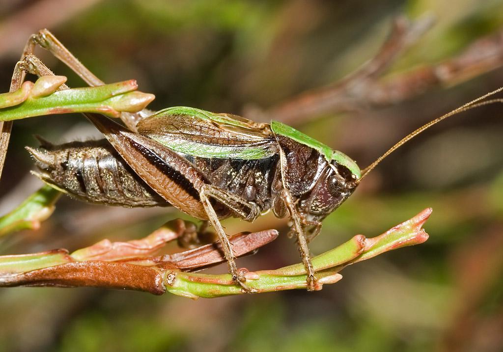 Metrioptera brachyptera -Kurzflügelige Beißschrecke - Fam. Tettigoniidae - Tettigoniidae - Laubheuschrecken - bush crickets