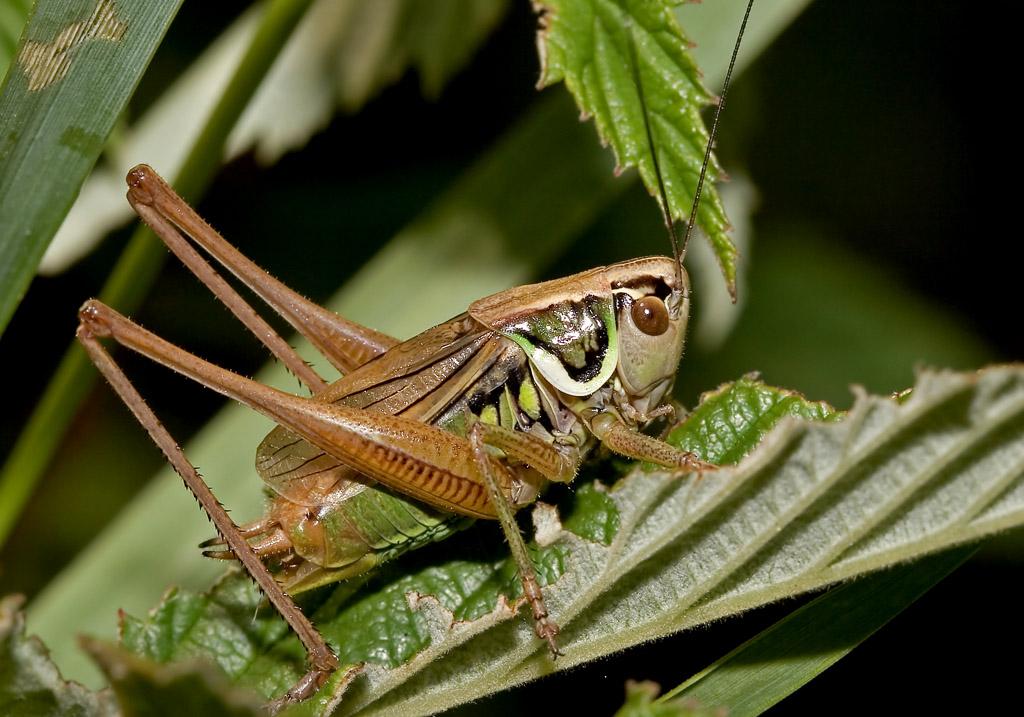 Metrioptera roeselii - Rösels Beißschrecke - Fam. Tettigoniidae - Tettigoniidae - Laubheuschrecken - bush crickets
