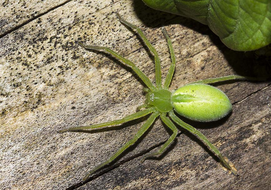 Micrommata virescens (female) - Grüne Huschspinne - Fam. Sparassidae - Riesenkrabbenspinnen - Araneae - Webspinnen - orb-weaver spiders