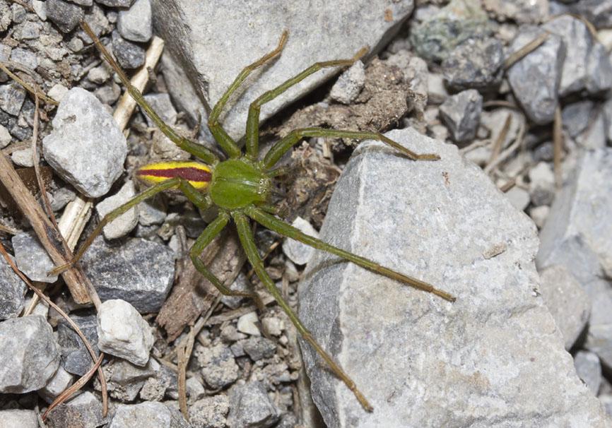 Micrommata virescens (male) - Grüne Huschspinne - Fam. Sparassidae - Riesenkrabbenspinnen - Araneae - Webspinnen - orb-weaver spiders