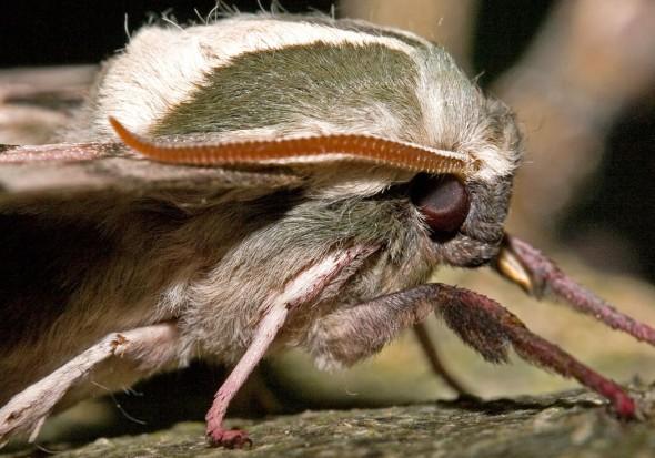 Mimas tiliae - Lindenschwärmer -  - Sphingidae - Schwärmer - hawk moths