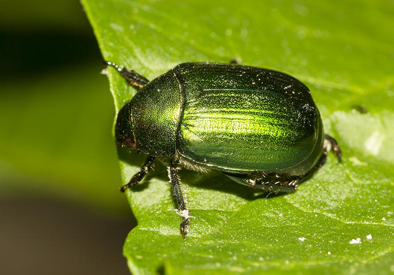 Mimela aurata - Fam. Ruteliidae    Pilion (Griechenland) - Scarabaeidea - Blatthornkäfer - scarab beetles