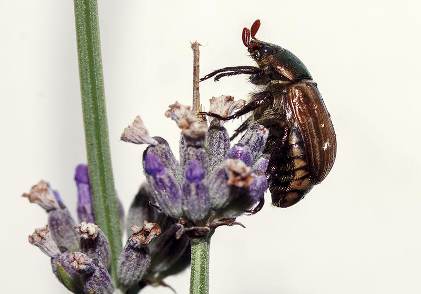 Mimela junii - Fam. Rutelidae - Scarabaeoidea - Blatthornkäfer - scarab beetles