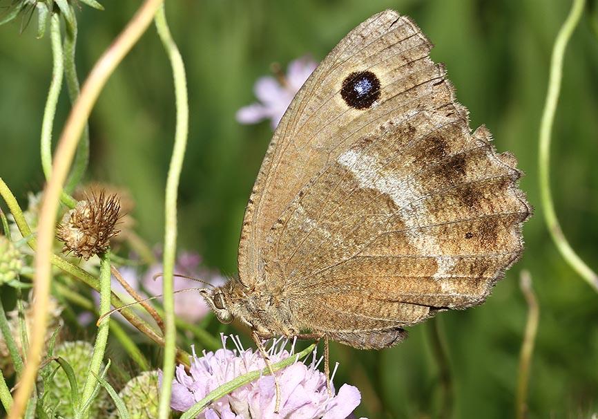 Minois dryas - Blauäugiger Waldportier -  - Nymphalidae - Edelfalter - brush-footed butterflies