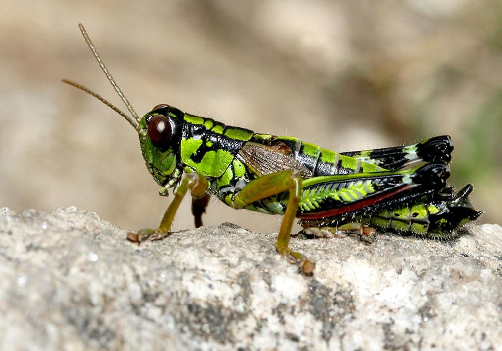Miramella alpina -  Alpine Gebirgsschrecke - UFam. Catantopinae   - Acrididae - Feldheuschrecken - grasshoppers