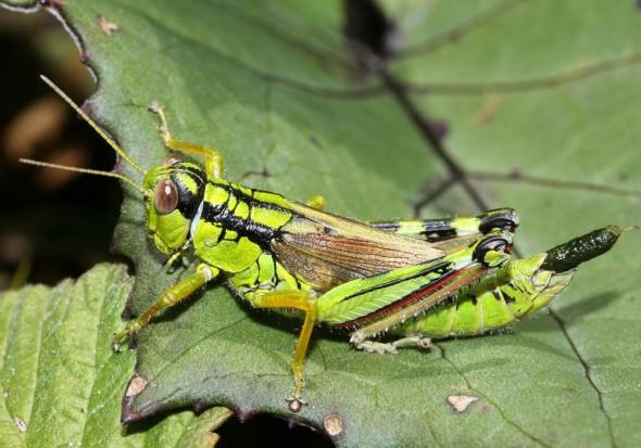 Miramella irena - UFam. Catantopinae   - Acrididae - Feldheuschrecken - grasshoppers