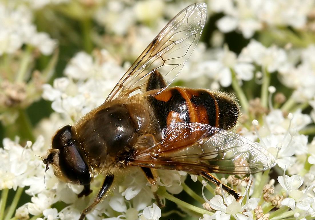 Eristalis tenax - Mistbiene - Fam. Syrphidae - Schwebfliegen - Brachycera (Fliegenartige) - Aschiza