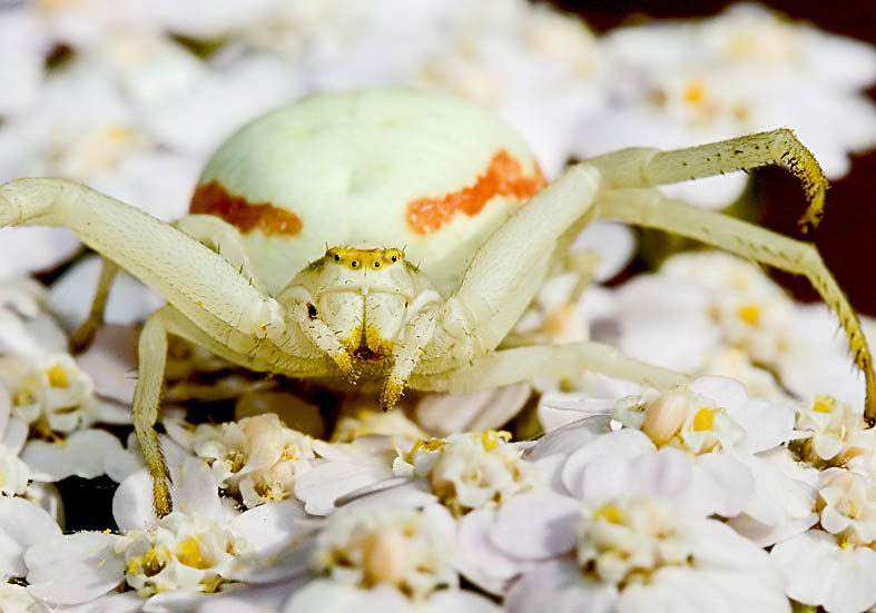 Misumena vatia - Veränderliche Krabbenspinne - Fam.  Thomisidae - Krabbenspinnen - Araneae - Webspinnen - orb-weaver spiders