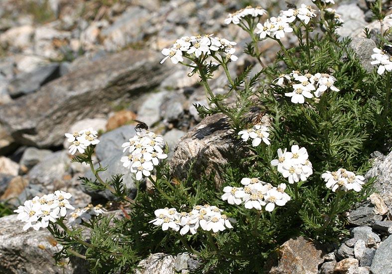 Achillea moschata - Moschus-Schafgarbe  - Asteraceae - Felsschutt - gravel