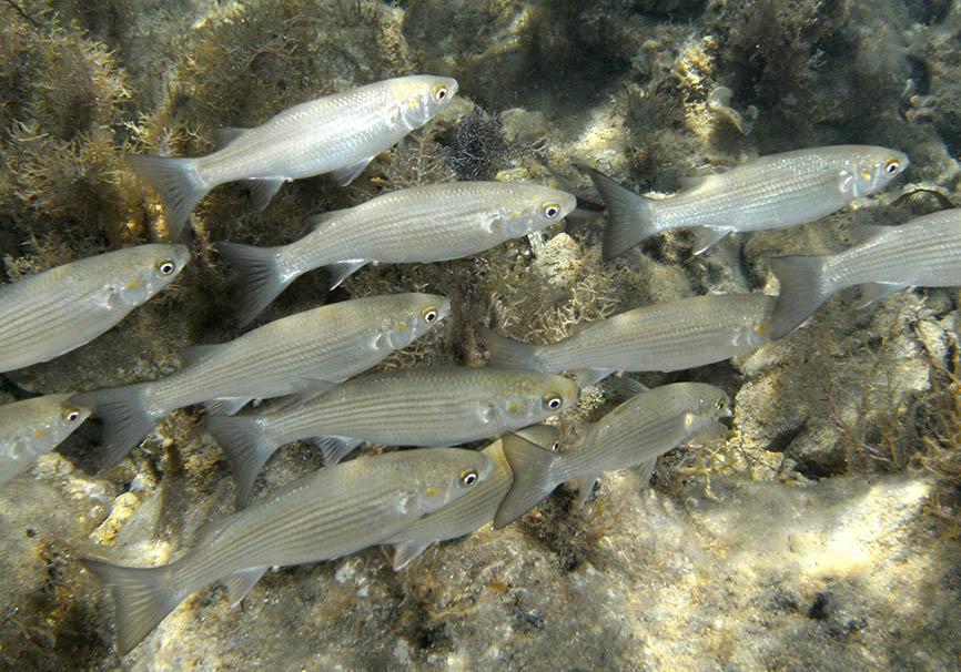 Mugil auratus - Goldäsche -  - Pisces - Fische - fish