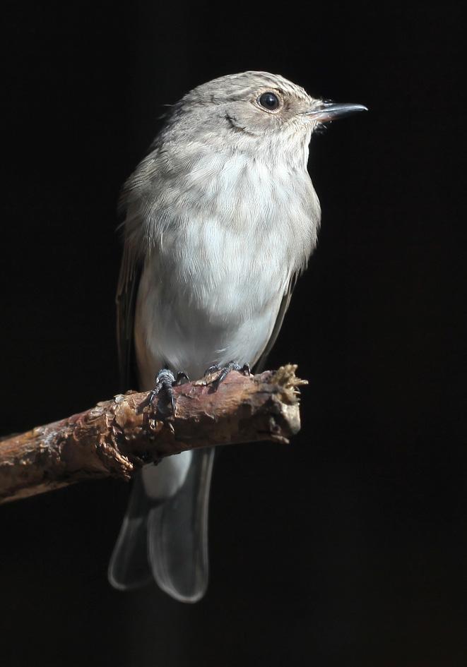 Muscicapa striata - Grauschnäpper - Spotted flycatcher -  - Passeres - Singvögel - songbirds