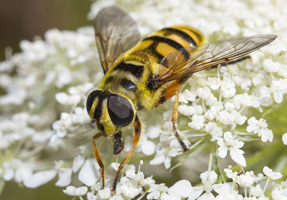 Myathropa florea - Totenkopffliege - Fam. Syrphidae - Schwebfliegen - Brachycera (Fliegenartige) - Aschiza
