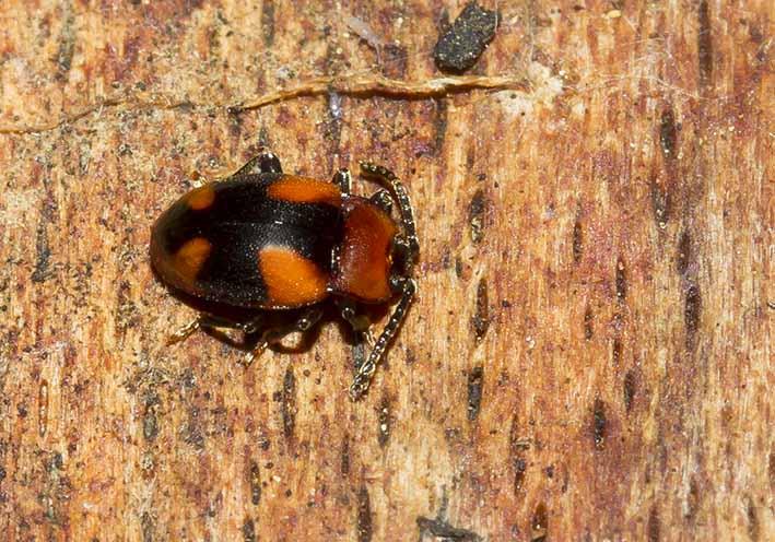 Mycetina cruciata  - Kreuzbinden-Pilzkäfer  - Fam. Endomychidae - Stäublingskäfer - weitere Käferfamilien - other beetle families