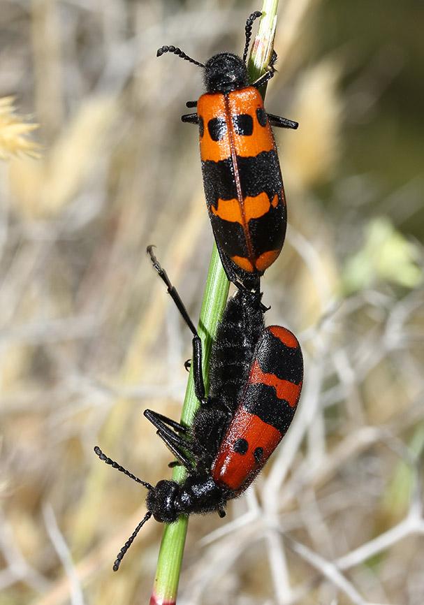 Mylabris cf. calida - Lesbos - Meloidae - Ölkäfer - bilster beetles