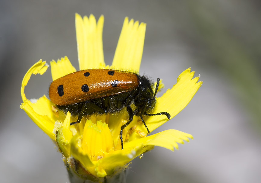 Mylabris cf. fabricii - Zagori - Epiros - Meloidae - Ölkäfer - bilster beetles