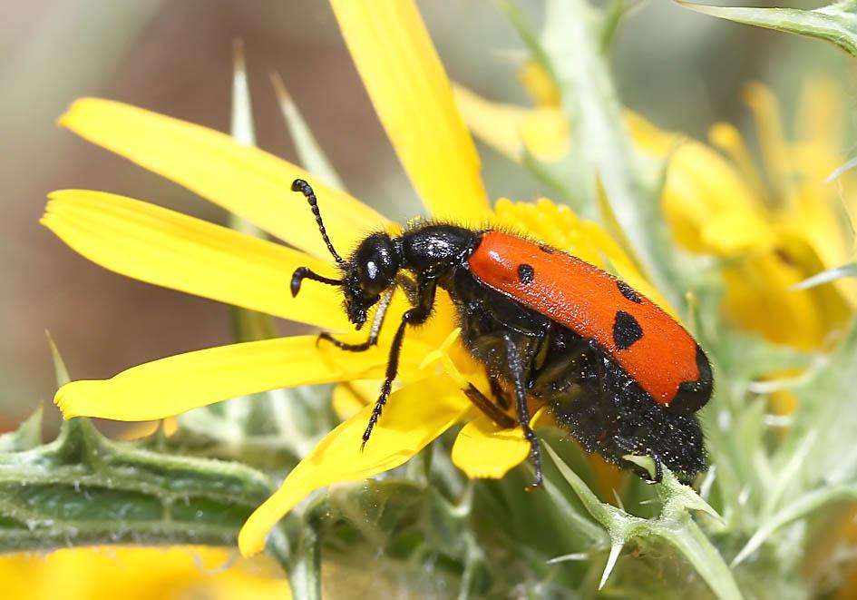 Mylabris quadripunctata - - Vierpunkt-Ölkäfer - Lesbos - Meloidae - Ölkäfer - bilster beetles