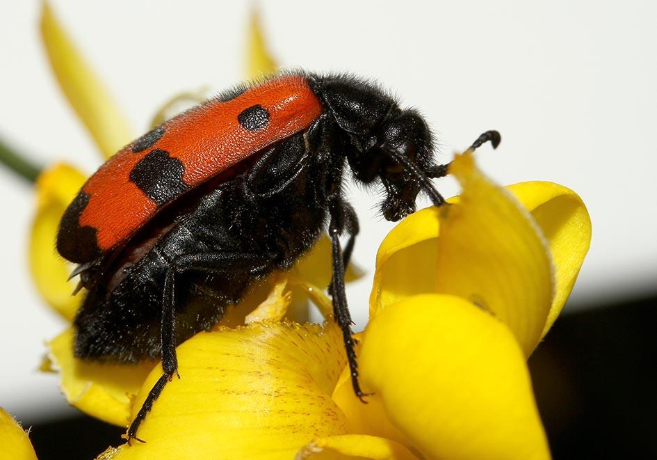 Mylabris quadripunctata   - Vierpunkt-Ölkäfer - Lesbos - Meloidae - Ölkäfer - bilster beetles