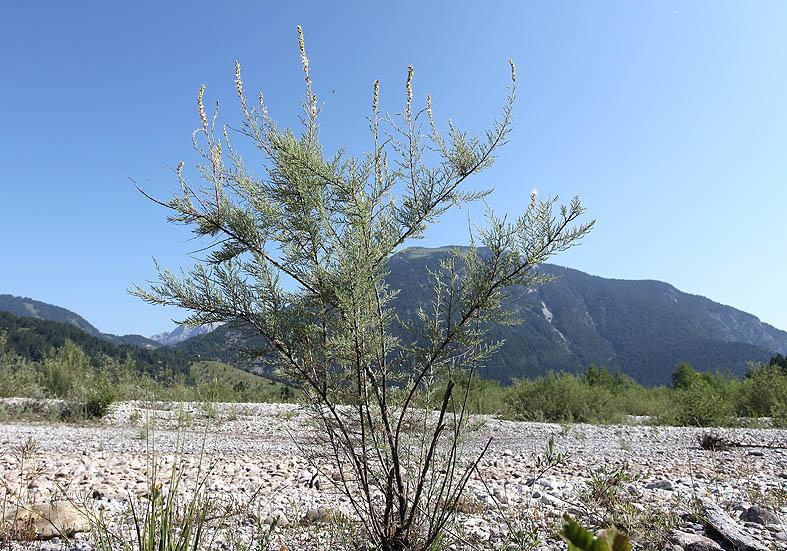 Myricaria germanica - Deutsche Tamariske - Fam. Tamaricaceae - Feuchtgebiete - wetlands