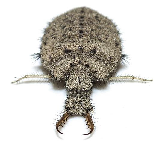 Myrmeleon formicarius - Ameisenlöwe - Fam. Myrmeleontidae - Ameisenjungfern - Neuropterida - Netzflüglerartige