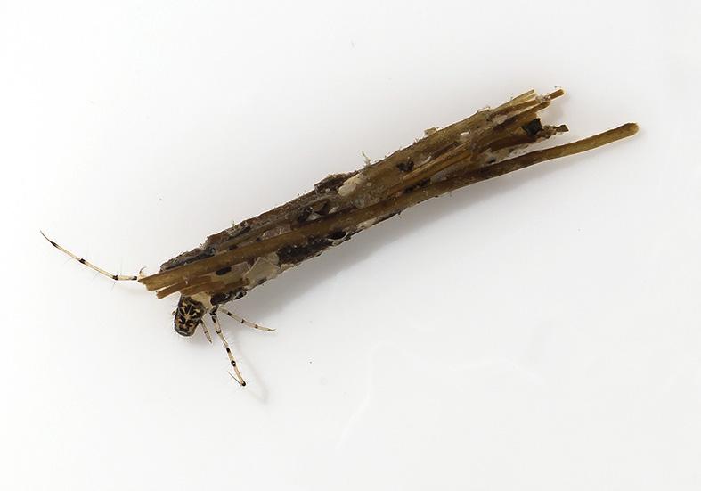 Mystacides nigra -  - Trichoptera - Köcherfliegen - daddisflies