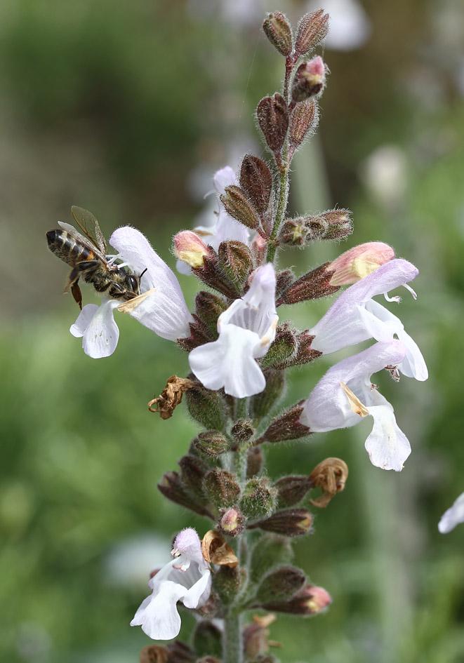 Salvia fruticosa - Griechischer Salbei - three-lobed sage  -  - Phrygana