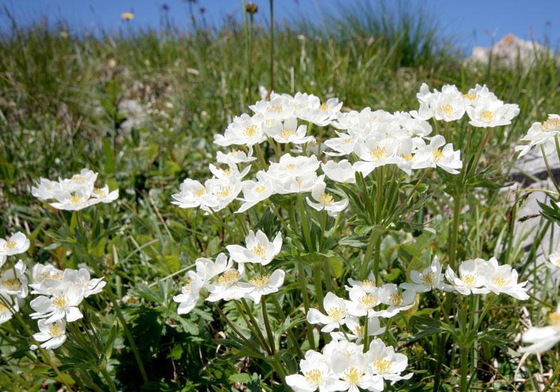 Anemone narcissiflora - Narzissenblütiges Windröschen - Fam. Ranunculaceae - Alpine Rasen - alpine grassland