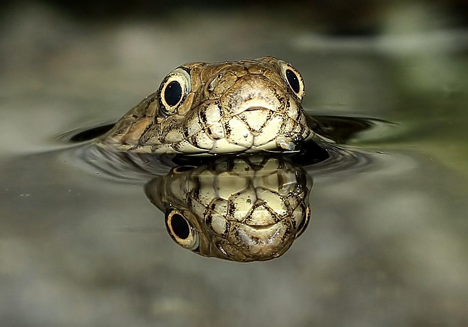Natrix maura - Vipernatter  - Alpenzoo - Serpentes - Schlangen - snakes