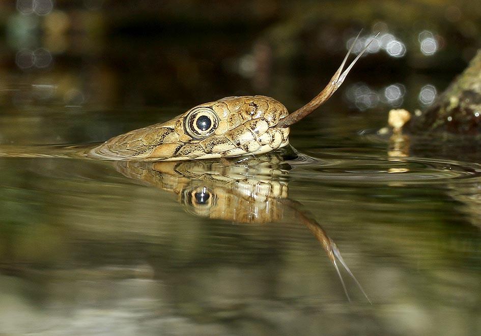 Natrix maura   Vipernatter - Alpenzoo - Serpentes - Schlangen - snakes
