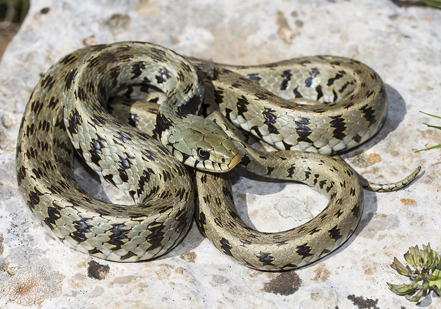 Natrix natrix persa - Steifenringelnatter - Zagori - Epirus - Serpentes - Schlangen - snakes