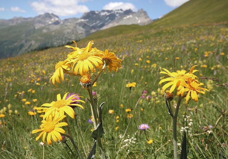 Arnica montana - Arnika - Fam. Asteraceae - Alpine Rasen - alpine grassland