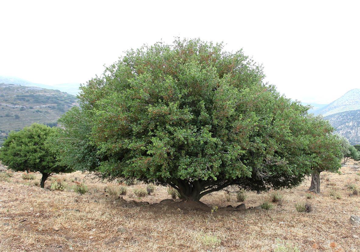 Acer sempervirens - Immergrüner Ahorn - evergreen maple -  - Wald - Forest