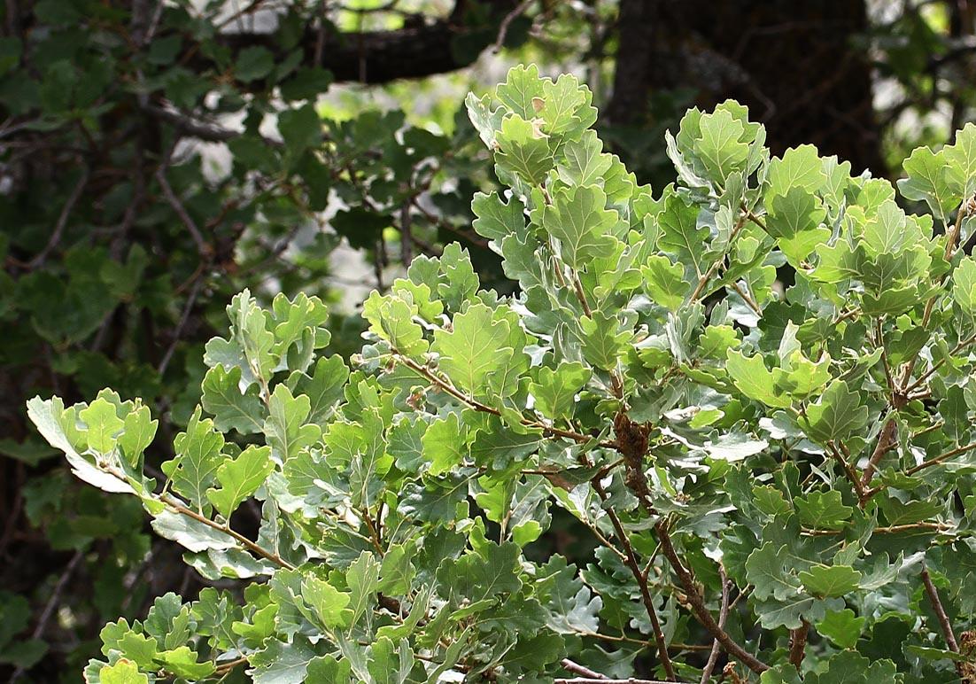 Quercus pubescens - Flaumeiche - pubescent oak/downy oak -  - Wald - Forest