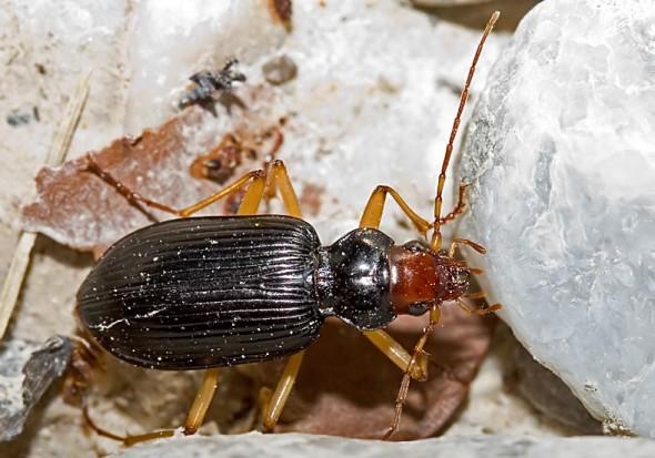 Nebria picicornis - Rotköpfiger Dammläufer -  - Carabidae - Laufkäfer - ground beetles