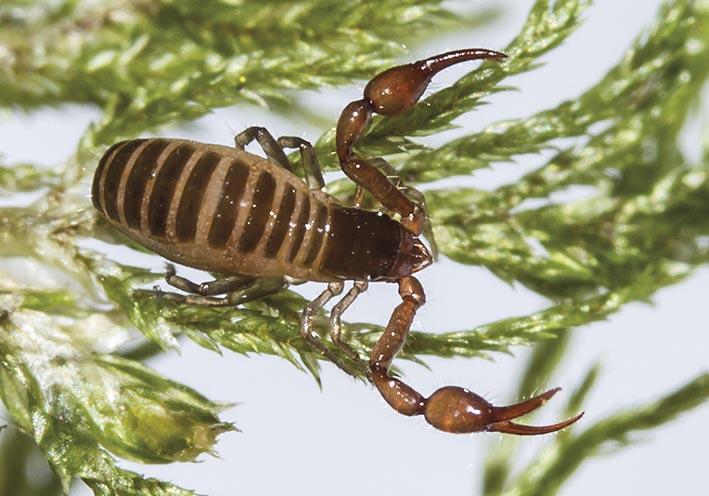 Neobisium sp. - Moosskorpion -  - Pseudoscorpiones - Pseudoskorpione