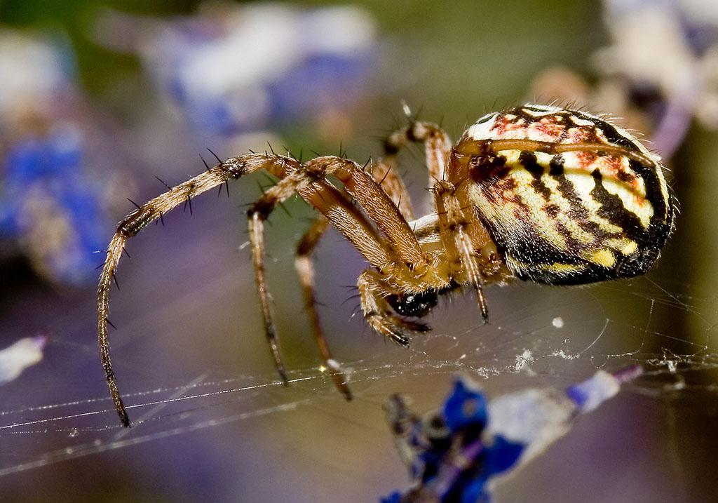 Neoscona adianta - Heideradspinne - Fam.  Araneidae - Radnetzspinnen - Araneae - Webspinnen - orb-weaver spiders
