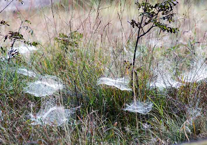 Netze Baldachinspinnen -  - Araneae - Webspinnen - orb-weaver spiders