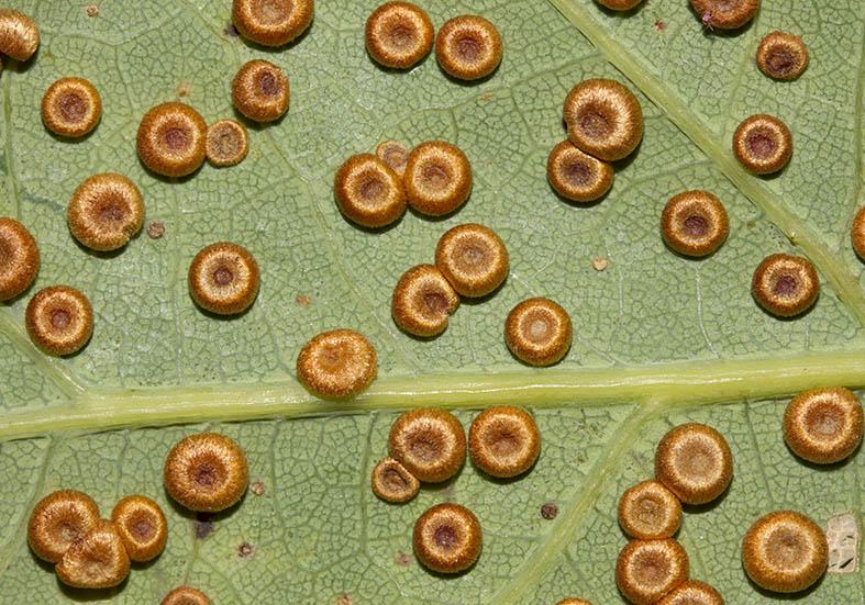 Neuroterus numismalis - Eichenmünzen-Gallwespe - Fam. Gallwespen (Cynipidae) - diverse Hymenopteren - other hymenopteras