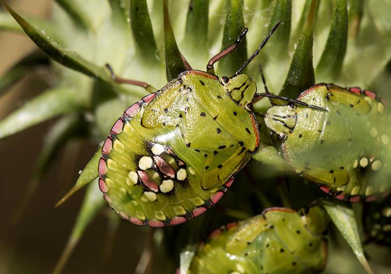 Nezara viridula  (Larve) - Fam. Pentatomidae  Pilion (Griechenland) - Heteroptera - Wanzen - true bugs