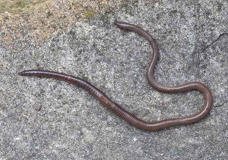 Aporrectodea nocturna - Schwarzkopfregenwurm -  - Clitellata - Gürtelwürmer - clitellates