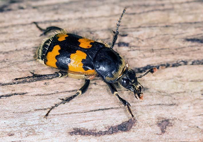 Nicrophorus vespillo - Totengräber - Fam. Silphidae - Aaskäfer - weitere Käferfamilien - other beetle families