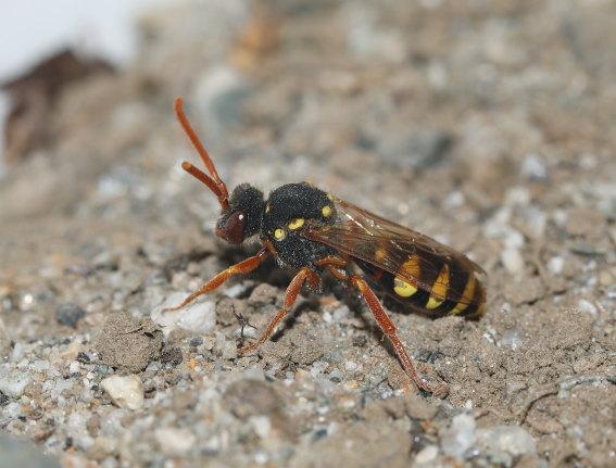 Nomada fulvicornis - Wespenbiene -  - Apiformes - Apidae - Bienen - Bees
