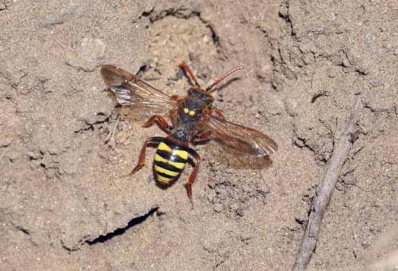 Nomada lathburiana  - Wespenbiene -  - Apiformes - Apidae - Bienen - Bees